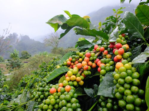 Ripe coffee cherries on tree.
