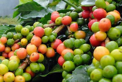 Coffee cherries on the tree in Jamaica