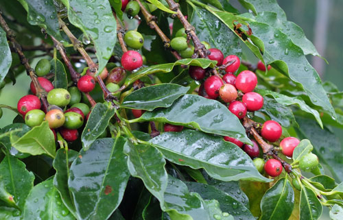 Ripe coffee cherries on the tree.