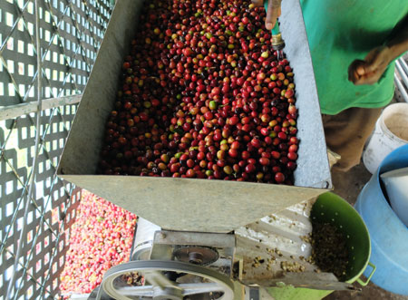 A coffee pulper, which separates the coffee beans from the flesh of the coffee cherry.