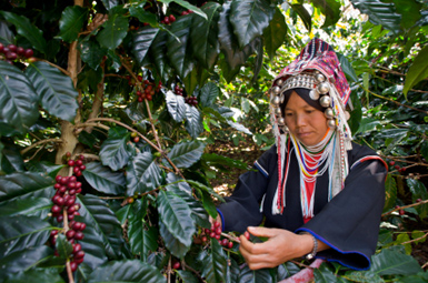 Akha woman picking ripe coffee cherries in North Thailand