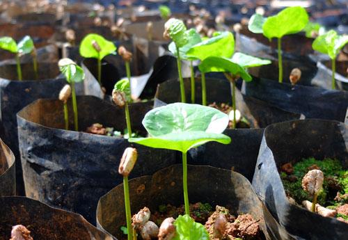 Coffee seedlings at about 3 weeks old.