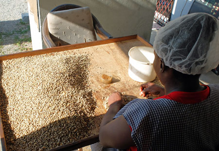 Sorting Jamaica Blue Mountain Coffee by hand, and discarding the inferior beans.