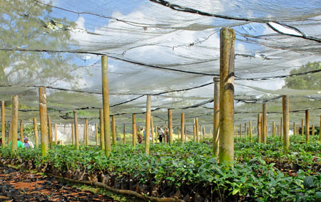 Coffee seedlings and young trees, before being planted on coffee farms.