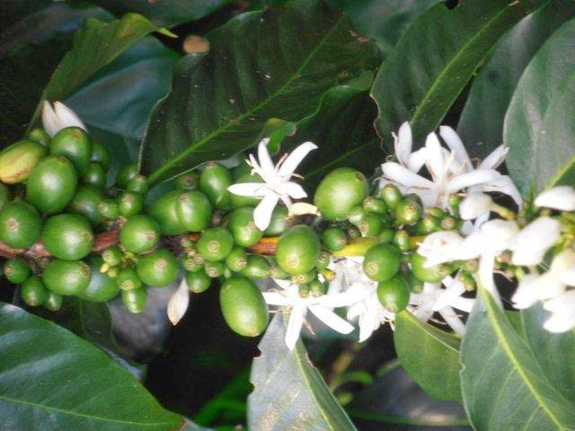 Coffee blossom and immature cherries.
