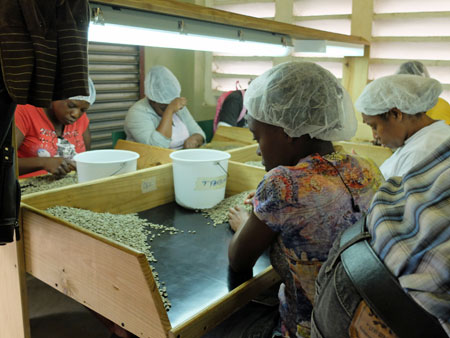 Sorting coffee beans at a Jamaican coffee processing plant