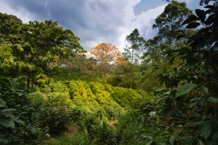 organic coffee plantation