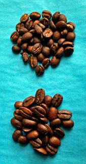 Shearwater Homacho Waeno organic coffee bean size.