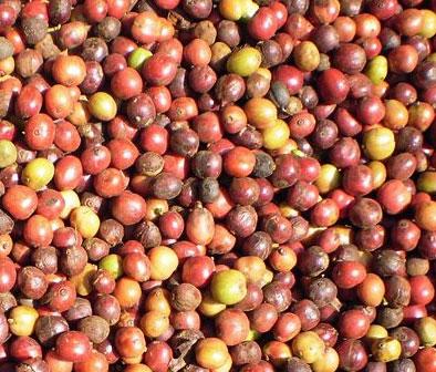 Robusta Coffee Cherries