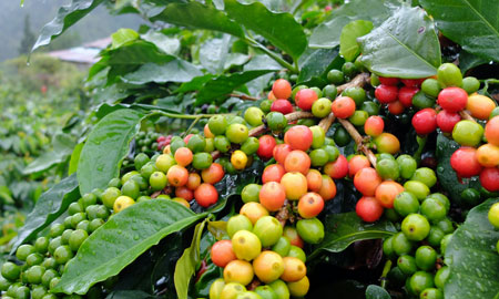 The red cherries on this coffee tree are ready to be picked.
