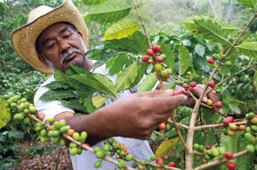 Coffee farmer picking coffee cherries