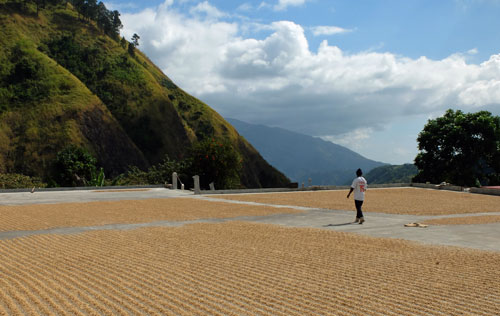 Freshly harvest coffee beans laid out to dry in the sun for 5-8 days.