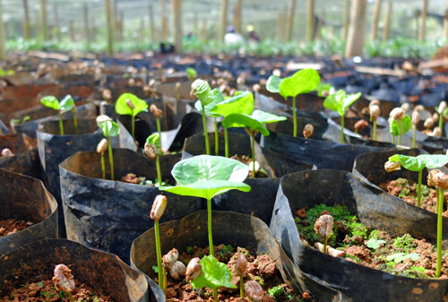 Coffee tree seedlings