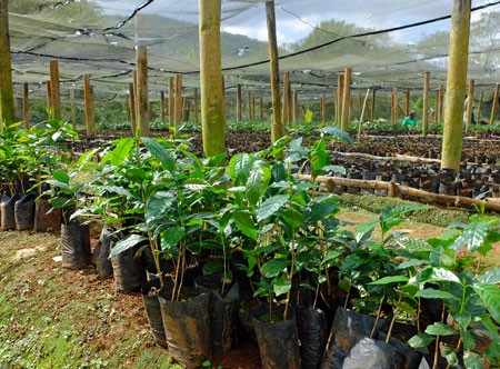 These coffee trees are about 10 weeks old and ready for planting on the farm.