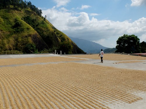 Coffee beans drying in sun.