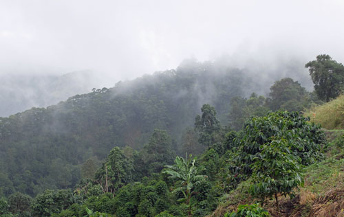 Jamaica Blue Mountain coffee in the mist