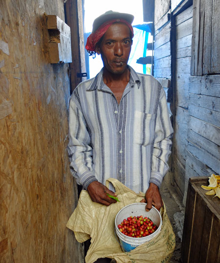 A coffee picker in the Blue Mountains of Jamaica