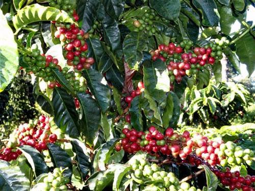 Coffee cherries on the tree.
