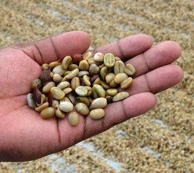 The coffee bean at the wet parchment stage.