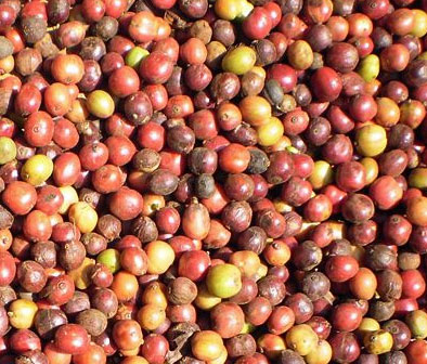 Robusta Coffee Cherries
